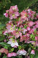 Helleborus 'Walberton's Rosemary' aka 'Walhero'