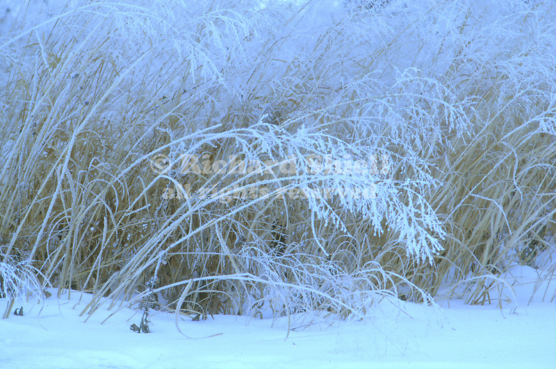 2203-ZB(DN) Hoarfrost on Prairie Grasses, Minnesota
