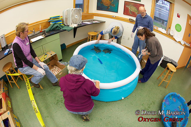 Volunteers With Green Turtles In Pool Warming Up