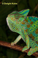 CH51-609z Female Veiled Chameleon in display color, Chamaeleo calyptratus