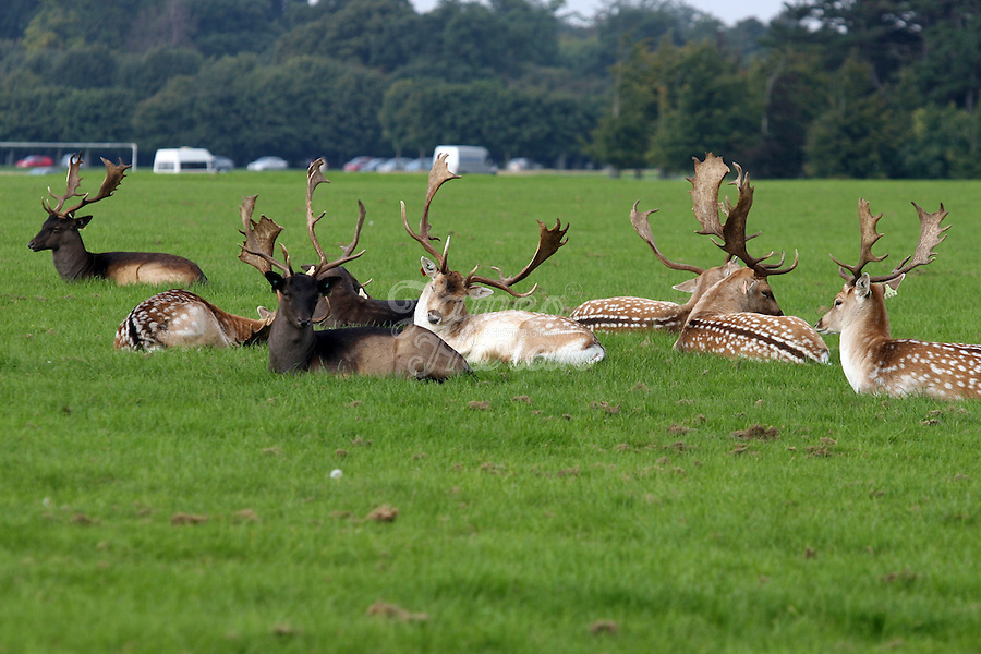 Deer are pictured wandering around Phoenix Park, Dublin, Ireland