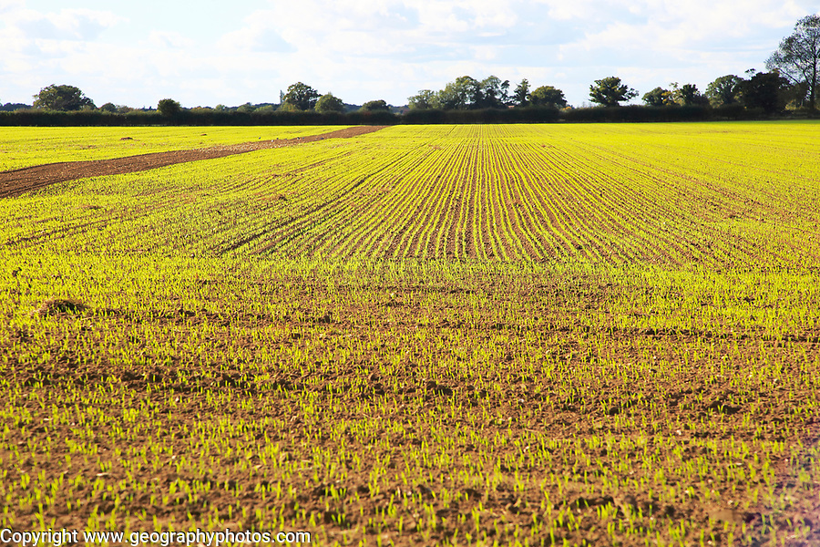 Green shoots of winter cereal crop growing in field, Tunstall, Suffolk, England, UK