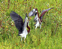Immature tricolored herons fighting
