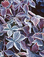 Frost detail, raspberry leaves, Concord, MA