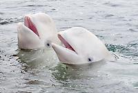 Two Beluga Whales or White Whales (Delphinapterus leucas), Sea of Japan, Primorsky Krai, Russia, Europe