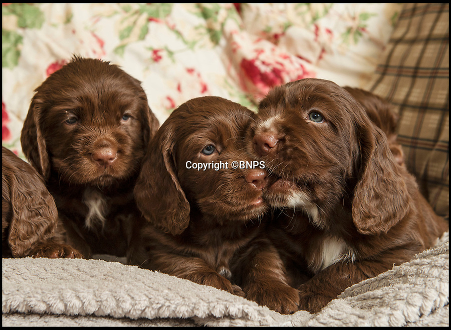 BNPS.co.uk (01202 558833)<br /> Pic: PhilYeomans/BNPS<br /> <br /> Dying breed? - These five adorable puppies could be amongst the last of their breed as shocking new figures reveal the Sussex Spaniel is now Britain's rarest breed of dog.<br /> <br /> Only 34 puppies were registered last year, as modern owners prefer labradoodles, cockapoos and French bulldogs to Britain's traditional native hounds.<br /> <br /> Now the Sussex Spaniel Association are appealing for the Duke & Duchess of Sussex to adopt a puppy and popularise the struggling breed before its to late.<br /> <br /> Association secretary Sheila Applby said 'We desperately need to raise the profile of the breed before it's too late, and hopefully the Sussex link will strike a chord with the Royal couple and they can lend their considerable support to help save this wonderful and charismatic breed of dog.'