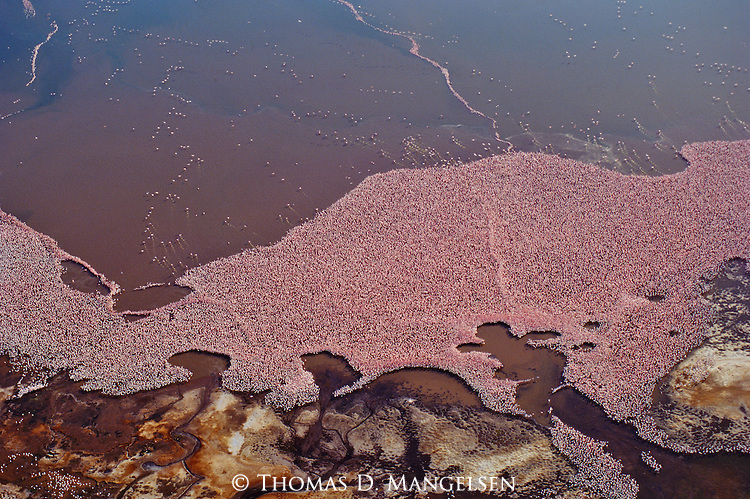 A massive group of flamingos dot Lake Bogoria with their pink bodies in Kenya.
