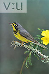 Canada Warbler (Wilsonia canadensis) adult male, Austin Texas, USA.