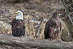 Mature and immature bald eagles share a log, Chilkat Bald Eagle Preserve, Haines, Alaska