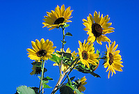 bright yellow sunflowers with deep blue sky behind. flower, petals, agriculture, plants, seeds, flowers.