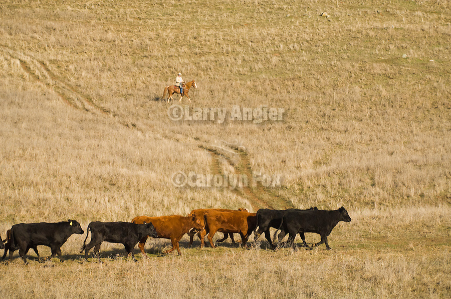 Spring cattle marking, Joses Ranch, Calaveritas, Calif...A lone cowboy guides the herd and watches for loose cattle.