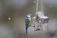 Blaumeise, selbstgemachtes Vogelfutter in einem Stern, Förmchen, Vogelfütterung, Fütterung, Fettfuttermischung, Fettfutter, Meisenknödel, Blau-Meise, Meise, Meisen, Cyanistes caeruleus, Parus caeruleus, blue tit, bird's feeding, La Mésange bleue