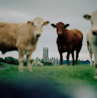 Cows in a field in front of Ross Errilly Friary, Headford, County Galway, Ireland