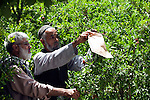8 June 2013, Mula Sultan village, Kholm District , Mazar-i-Sharif, Balkh Province, Afghanistan. Local farmer Ahmad Shah (55,right) with NHLP Pest Management officer Sayed Ghulam , on his orchard at  Mula Sultan village, Kholm District , where he is growing pomegranates, almonds and figs. Mr.Shah is bagging his pomegranate fruit to prevent pests destroying his crop. Mr. Shah  is benefitting from the new National Horticulture and Livestock Project (NHLP). The trees are part of a re-generation program that allows him to access Farmers Field School that teaches better growing techniques, fertilising methods and marketing of his fruit. His production output has grown from a paltry 20% to something near 80% as a result of the NHLP. The NHLP is providing training and equipment to farmers to assist in increasing production and to improve management of lands and animals. Picture by Graham Crouch/World Bank