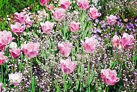 Germany, Baden-Wurttemberg: landscape at Black Forest, pink tulips | Deutschland, Baden-Wuerttemberg, Schwarzwald: bluehende Landschaft im Ortenaukreis, pinkfarbene Tulpen