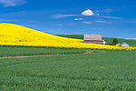 Palouse Country, Latah County, ID: Red barn with hillside of yellow flowering canola field