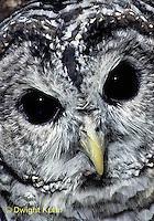 OW01-048z  Barred owl - Strix varia