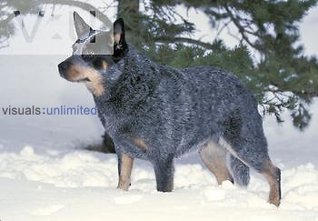 Australian Cattle Dog variety of domestic dog.