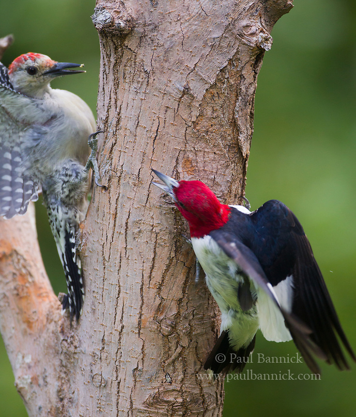 An adult Red-headed Woodpecker confronts a juvenile Red-bellied Woodpecker.