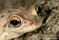0201-0924  Cuban Treefrog (Cuban Tree Frog) Detail of Head, Osteopilus septentrionalis  © David Kuhn/Dwight Kuhn Photography