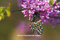 03009-01615 Black Swallowtail butterfly (Papilio polyxenes) newly emerged male on Eastern Redbud tree (Cercis canadensis) Marion County IL