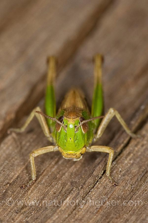 Gemeiner Grashüpfer, Portrait, Porträt, Chorthippus parallelus, Chorthippus longicornis, common meadow grasshopper