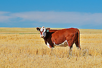 Cattle. Hereford<br /> Maple Creek<br /> Saskatchewan<br /> Canada