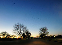 Birds dot the sky at dawn in Cape Girardeau, Mo., on Nov. 26, 2010.