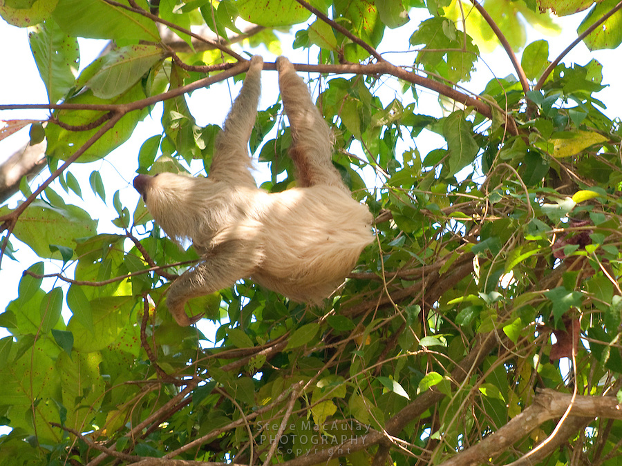 Two toed sloth in tree, Manuel Antonio National park, Costa Rica