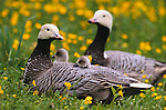 Emperor geese and goslings