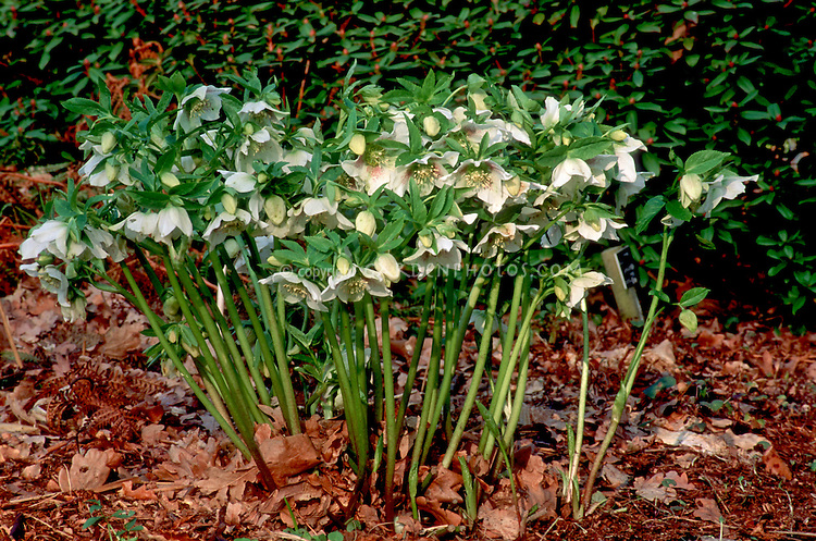 Hellebore x hybridus white with spots, single