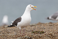 Slaty-backed Gull (Larus schistisagus) calling. Chukotka, Russia. June.