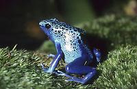 Blauer Baumsteiger, Azurblauer Baumsteiger Blauer Pfeilgiftfrosch, Dendrobates tinctorius, Dendrobates azureus, Baumsteigerfroch, Pfeilgiftfrosch, Farbfrosch, Färberfrosch, Baumsteigerfrösche, Pfeilgiftfrösche, Färberfrösche, Farbfrösche, Dendrobatidae, blue poison dart frog, blue poison arrow frog, Poison dart frogs, dart-poison frogs, poison frogs, poison arrow frogs