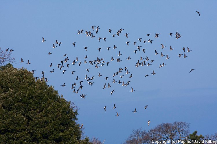 Brent goose, Branta bernicla, Flock of geese moving off to feeding grounds, Devon, England, UK