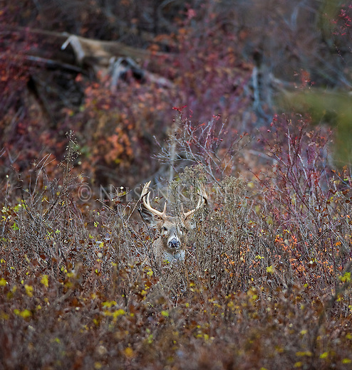 Whitetail buck hiding in brush in Montana