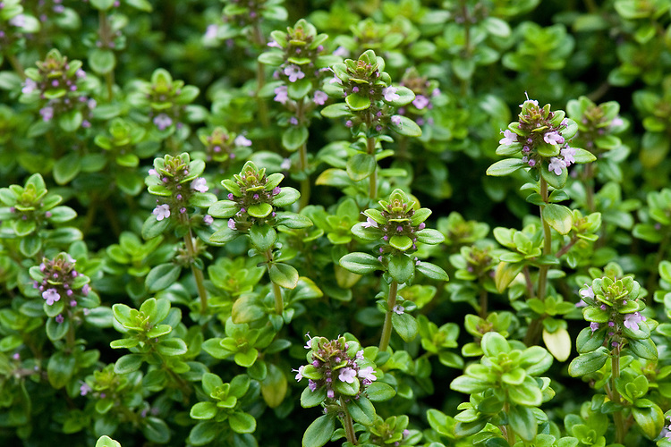 Thymus pulegioides 'Bertram Anderson', mid August. An aromatic broad-leaved thyme with golden-green foliage.