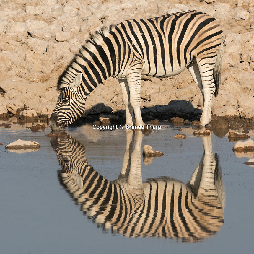 A Burchell's Zebra drinks at a waterhole in Etosha National Park, Namibia.