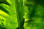 Elephant Ear Taro (Alocasia macrorrhizos) leaves, Sigiriya, Sri Lanka