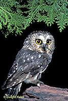 OW02-319z   Saw-whet owl - Aegolius acadicus