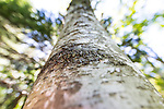 Birch trees in Acadia National Park, Maine, USA