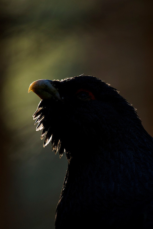 A backlit male Capercaillie in the Cairngorms, Scotland