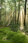 Deciduous Forest with rays of sunlight, Bald Eagle State Park, Pennsylvania, USA.
