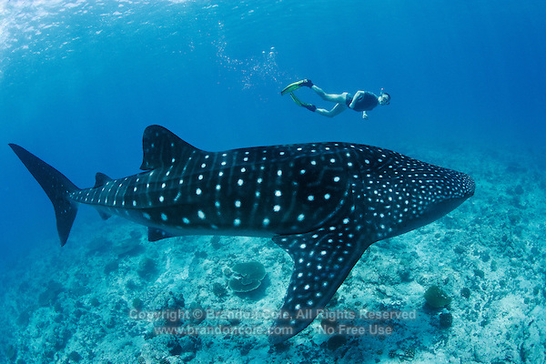 ps0125-D. Whale Shark (Rhincodon typus). Maldives, Indian Ocean..Photo Copyright © Brandon Cole. All rights reserved worldwide.  www.brandoncole.com..This photo is NOT free. It is NOT in the public domain. This photo is a Copyrighted Work, registered with the US Copyright Office. .Rights to reproduction of photograph granted only upon payment in full of agreed upon licensing fee. Any use of this photo prior to such payment is an infringement of copyright and punishable by fines up to  $150,000 USD...Brandon Cole.MARINE PHOTOGRAPHY.http://www.brandoncole.com.email: brandoncole@msn.com.4917 N. Boeing Rd..Spokane Valley, WA  99206  USA.tel: 509-535-3489