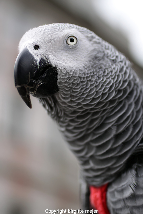 Charlie, the African Grey Parrot, sitting on his white pole in the City Center, chatting away.