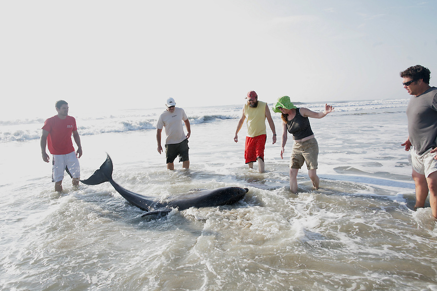 A large dolphin that got stranded on the beach during Hurricane Irene gets help by, from left, Crew Hayes (cq Crew), Jeff Hayes, Damon Ahrendt, Valerie Real and Brad Doerr  along the beach in Avon, NC, on Sunday, Aug. 28, 2011.  The five people pulled him from near the dunes into the water and the dolphin swam away.  Photo by Ted Richardson