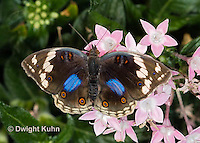 LE45-560z  Blue Pansy Butterfly/Blougesiggie, Junonia oenone oenone, Africa
