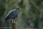 Brazoria County, Damon, Texas; a lone black vulture (Coragyps atratus) bird sitting on a fence post