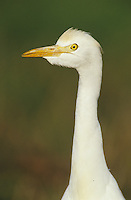 Cattle Egret, Bubulcus ibis , adult, Willacy County, Rio Grande Valley, Texas, USA, March 2004