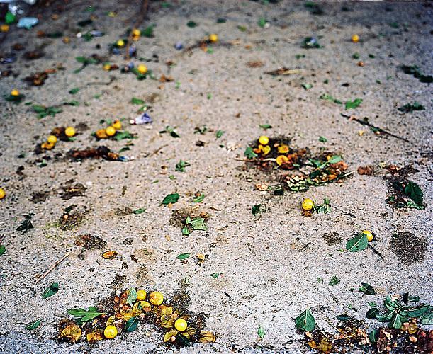 KOS / Kosovo /Mitrovica / 01.07.2009 / Lager Ostarode, Pflaumen auf der Straße