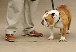 Ocktoberfest. English bulldog.